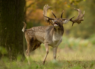 Fallow deer (Dama dama) during the rut, UK