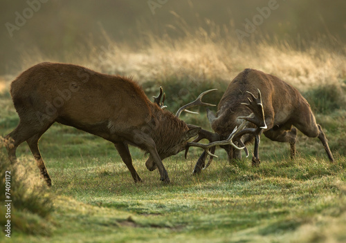 Keuken foto achterwand Hert Red deer fight during the rut, UK