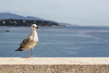 Seagull stands on the stone wall