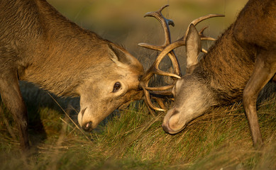 Close-up of Red deer stag fight during the rut