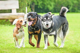 Three dogs running in the yard - 74093746