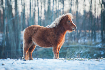 Little furry shetland pony in winter