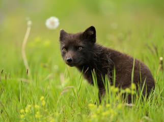 Adult Arctic fox Vulpes lagopus