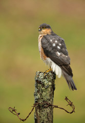 Eurasian sparrowhawk (Accipiter nisus) on the post
