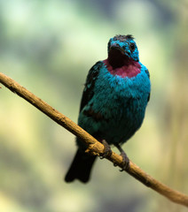 Male spangled cotinga