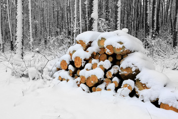 pine logs in forest at winter time