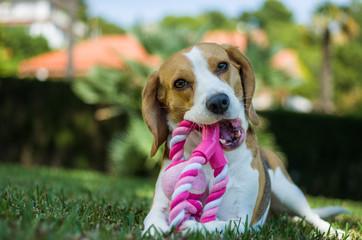 Beagle con su juguete