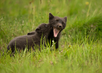 Arctic Fox Vulpes lagopus playing with a cub