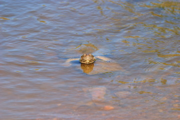 testuggine tartaruga d'acqua