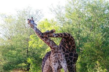 giraffe parco nazionale del kruger savana del sudafrica