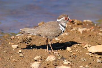 uccello corriere dai tre collari charadirius tricollaris