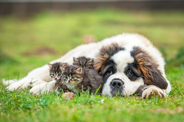 Saint bernard puppy with three little kittens