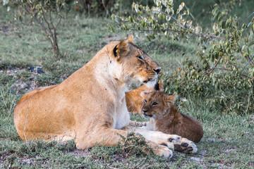 cachorro de Leon y madre leona