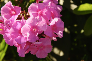 Flowers of pink phlox in the garden