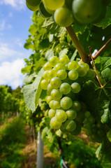 Reife weiße Weintrauben kurz vor der Ernte