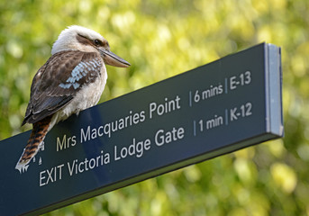 Laughing Kookaburra in Sydney, New South Wales, Australia