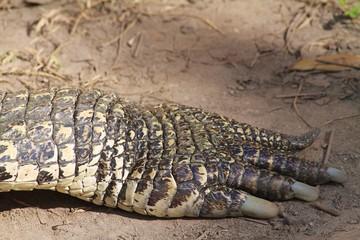 American crocodile Paw