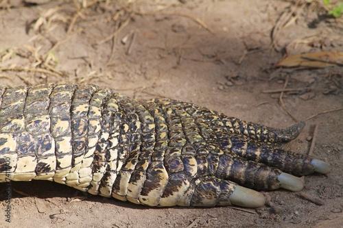 Foto op Plexiglas Krokodil American crocodile Paw