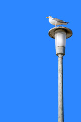 Seagull perched on tall light post, clear blue sky background
