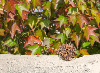 Brown sweetgum tree seed pod with leafy background