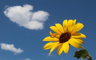 Wild Sun Flower against Blue Sky