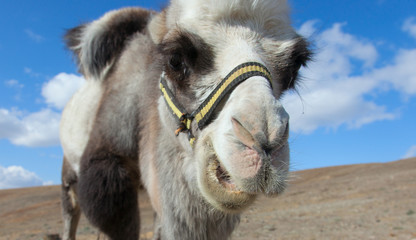 Bactrian camel on a background of blue sky