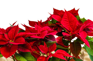 Red poinsettia flowers in bloom