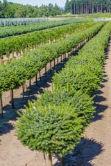 Rows of conifer shrubs in a nursery