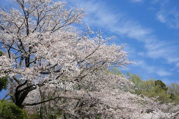 陽春のソメイヨシノ