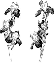 Two branches of irises