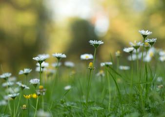 Lawn daisies, Bellis perennis