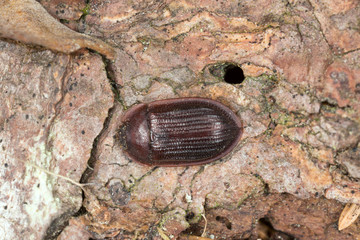 Bark-gnawing beetle, Ostoma ferruginea, trogossitidae