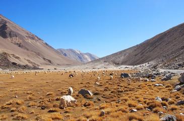 Pasture in North India