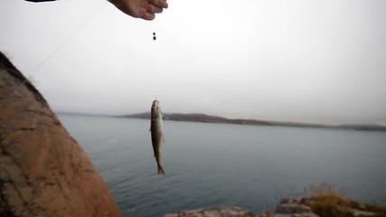 haddock on a rod on sea fishing in Scandinavia