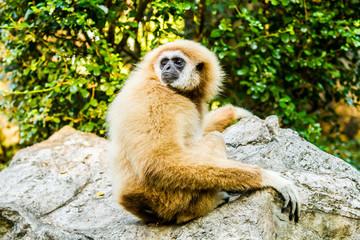 gibbon in chiangmai zoo chiangmai Thailand.