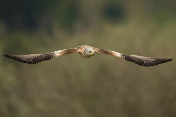 Red kite in flight against green background