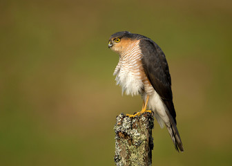 Adult Eurasian Sparrowhawk preening on a post