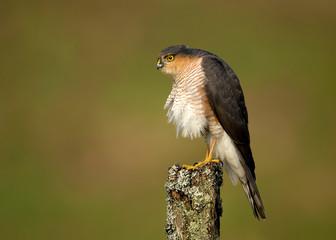 Adult Eurasian Sparrowhawk preening on a post