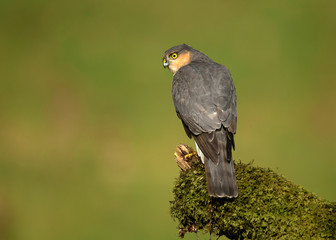 Adult Eurasian Sparrowhawk on a mossy post