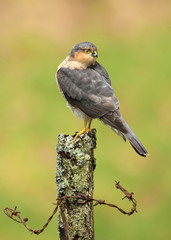 Adult Eurasian Sparrowhawk perching on a post