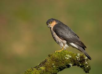 Male Eurasian Sparrowhawk (Accipiter nisus)