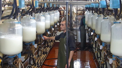 Milking cows on farm, working with dairy equipment