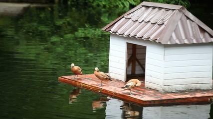 Duck, swan, pond, lake.