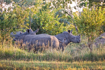 Rhinoceroses, South Africa