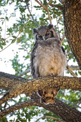 Owl, South Africa