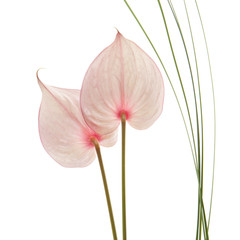 anthurium flowers isolated