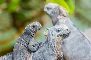 Family of Galapagos marine iguana, Isabela island