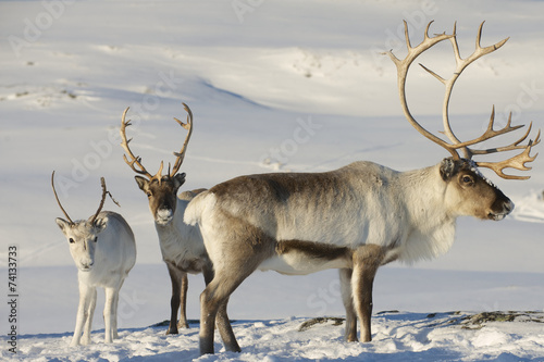 Poster Hert Reindeers in natural environment, Tromso region, Northern Norway