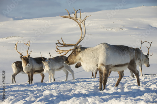 Fototapeta Reindeers in natural environment, Tromso region, Northern Norway