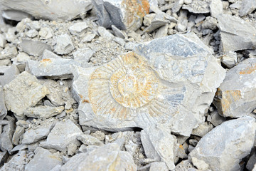 Ammonite fossil in limestone rock